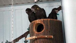 Kakadu hnědohlavý