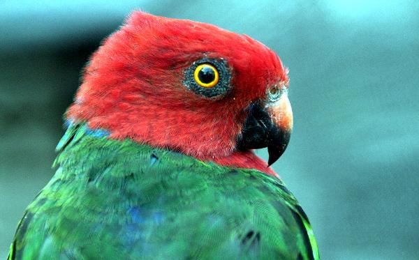Detail hlavy papouška karmínového (Foto: Jan Potůček, Ararauna.cz)