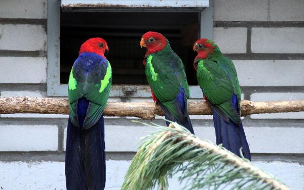 Samice papouška karmínového (vlevo) s mláďaty (Foto: Jan Potůček, Ararauna.cz)