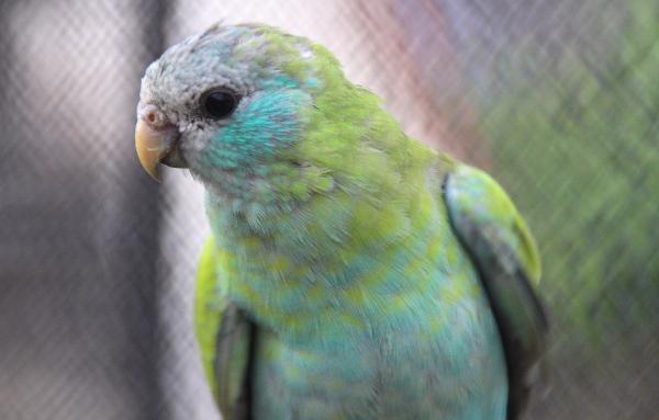 Detail méně nápadné samice papouška žlutokřídlého (Foto: Jan Potůček, Ararauna.cz)
