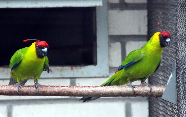 Chovný pár papoušků chocholatých (Foto: Jan Potůček, Ararauna.cz)