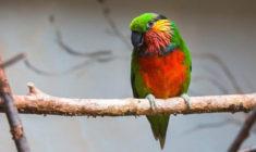 Pražská zoo letos odchovala čtyři loríčky rudobradé, nejvíc v historii