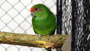 Amazónek červenohlavý