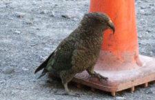 Nestoři kea způsobují chaos v dopravě na Novém Zélandu. Přesouvají dopravákům kužely