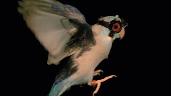 Bizarní vědecký test: papoušek s brýlemi prolétává laserem, aby odhalil tajemství letu ptáků