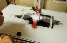 Praktická zkušenost s čipováním papouška žako: Jak jsme se připravili na registraci CITES