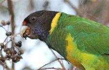 Papouškům barnardům límcovým se kvůli změně klimatu prodlužují křídla, tvrdí vědci