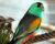 Úspěšný odchov papoušků žlutoramenných v Loro Parque na Tenerife