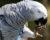 Opozdilci mají poslední týden na podání žádosti o registraci papoušků žako