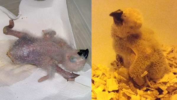 Jak jsme zachraňovali mládě žaka, které si pádem z budky poškodilo nohy