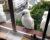 Kakadu žlutočečelatý okupuje australská města. V Sydney je už pátým nejčastějším ptákem