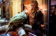 Kakapo soví v Česku: Moravské zemské muzeum v Brně vystavuje unikátní exponát