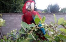 """Čerstvá zkušenost s ulétlým arou aneb jak se zachovat, když vám papoušek """"vezme čáru"""""""