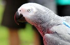 Ovlivní nějak povinná registrace CITES ceny papoušků žako? Chovatelé se neshodují