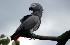 Dnes končí lhůta pro podávání žádostí o registraci papoušků žako. Úřady ji neprodlouží