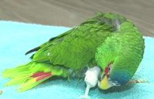Jednonohý papoušek dostane protézu vyrobenou na míru pomocí 3D tiskárny