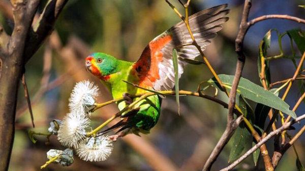 Ochránci svedou další bitvu o latama vlaštovčího: Tasmánie chce povolit těžbu dřeva v hnízdištích