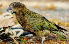 Nestoři kea dokáží vyluzovat zvuk podobný nakažlivému smíchu, který strhává k dovádění