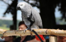 České úřady vydaly přes 5 000 registračních listů CITES pro papoušky žako