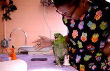 Papoušek přišel při útoku lišky o nohu, protézu mu vytiskli na 3D tiskárně