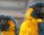 Ochránci zmapovali všechna známá hnízda arů kanind v Bolívii. Je jich jako šafránu