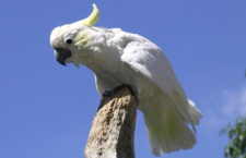 Indonéská populace kakadu žlutolících povážlivě klesá, čítá už jen 3 500 papoušků