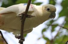 Jako děti vybíraly kakadu filipínské z hnízd, nyní je bývalé pašeračky pomáhají chránit