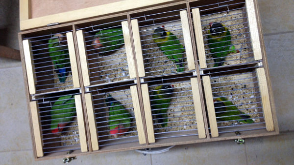 Čeští chovatelé poprvé hromadně vyvezli papoušky do Loro Parque na Tenerife