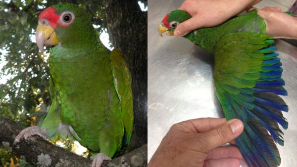 V Mexiku se podařilo objevit nový druh papouška: amazoňana modrokřídlého