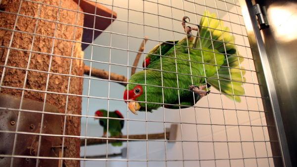 Videostřípky z Papouščí zoo Bošovice: amazoňani nádherní si brání budku, souboj arů vojenských a ze zázemí zoo