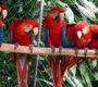 Kostarika vypustila 16 arů arakang do volné přírody, v Mexiku jich osm zabavili nevládní organizaci