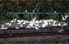 Rozsypané zrní na železniční trati v Austrálii se stalo smrtelnou pastí pro hejna kakadu
