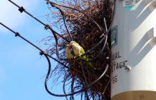 Energetici v USA mění politiku odstraňování hnízd mníšků šedých ze sloupů vysokého napětí