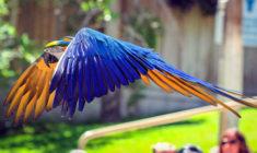 Zoo podcenila volný let papouška, ara ararauna ulétl z areálu a srazilo ho auto