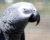 Papoušek se pokusil přes asistentku Alexa objednat pamlsky, zastavil ho až rodičovský zámek