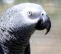 Americký soud uznal papouška žako jako korunního svědka v případu vraždy