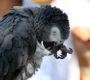 Britové mohou při registraci CITES prokázat původ žaka prohlášením souseda nebo veterináře