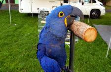Krásné u Šumperka v sobotu popáté ožije srazem volně létajících papoušků. Letos s arou hyacintovým