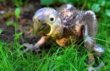 Zlínská zoo hlásí první odchov ary hyacintového. O mládě se starají přímo rodiče
