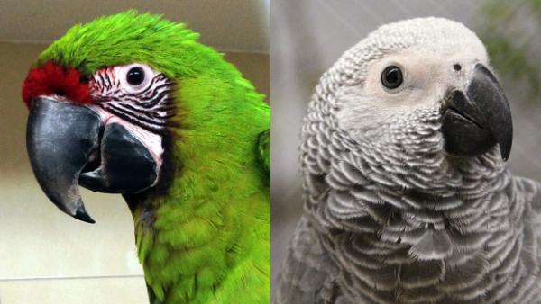 Papoušci žako jsou daleko lepší v sebeovládání než arové, vyplynulo z testů v Loro Parque