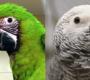 Statistika CITES: v Česku přibývá arů zelených, registrovaných papoušků žako je už 6 599