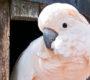 Zoo Tábor rozšiřuje chov papoušků, má kakadu moluckého a čtyři nové ary zelenokřídlé