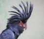 Velký úspěch pražské zoo: Poprvé odchovala kakadu palmového pod rodiči