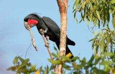Samci kakadu palmových lákají samičky bubnováním dřívka o větev. Udrží rytmus, zjistili vědci