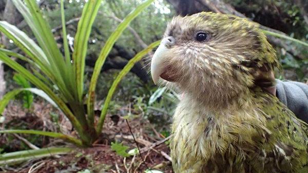 Kakapy soví čeká pokus o přežití: Na novém ostrovu mají hnízdit bez lidské pomoci