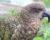 Zlínská zoo otevřela novou expozici Nového Zélandu s nestory kea a unikátním kivi hnědým