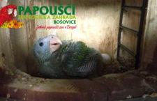 Papouščí zoo Bošovice odchovala jako první v Česku a na Slovensku amazoňana nádherného