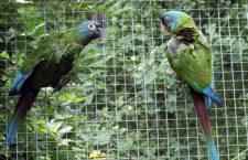 Zoo Ostrava odchovala ary horské. Tři mláďata opustila budku, starali se o ně rodiče