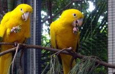 Chovatelé žalují úřady kvůli nevyřazení aratingy žlutého ze seznamu ohrožených druhů