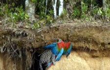 Unikátní video zachycuje úspěšný útok ocelota na aru zelenokřídlého v Peru